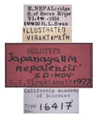 Japanagallia nepalensis image