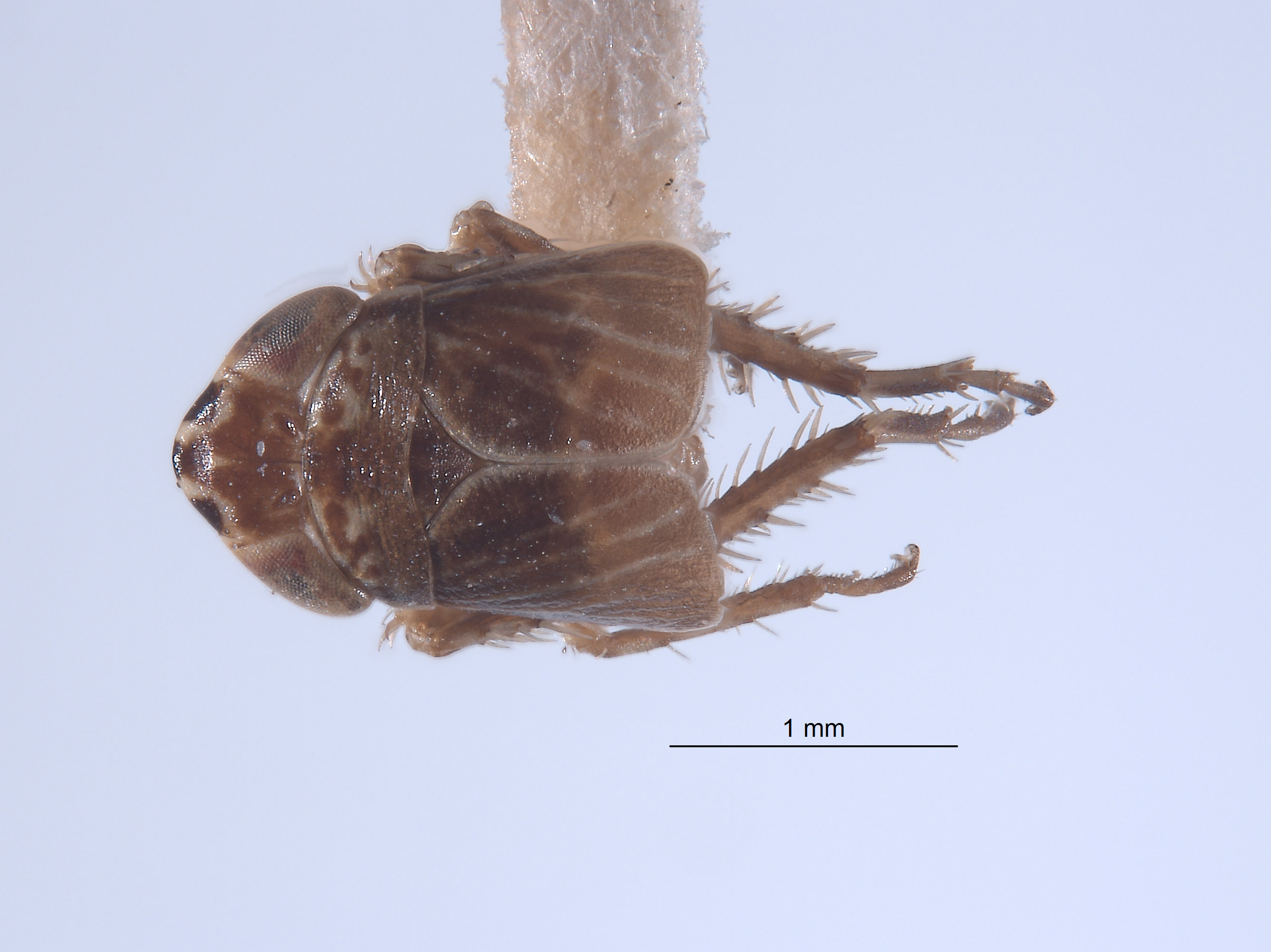 Athysanella ectopa image