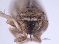 Errhomus brevis image