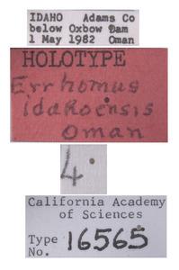 Errhomus idahoensis image