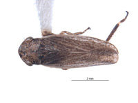 Image of Errhomus josephi