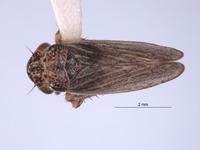Image of Errhomus paradoxus
