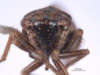 Errhomus paradoxus image