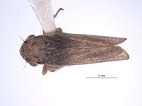 Image of Errhomus satus