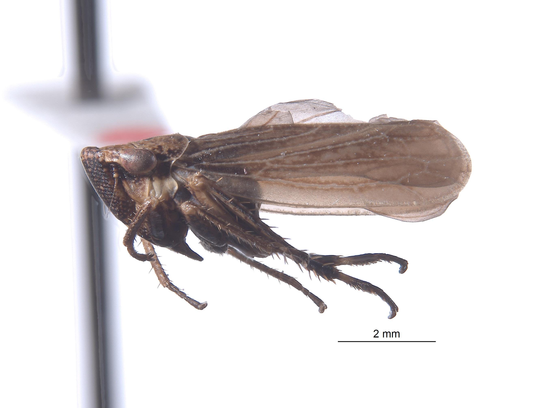 Errhomus serratus image