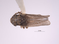 Image of Errhomus sobrinus