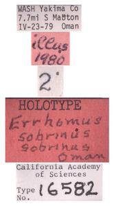 Errhomus sobrinus image
