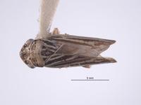 Image of Errhomus winquatt