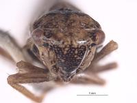 Errhomus zonarius image