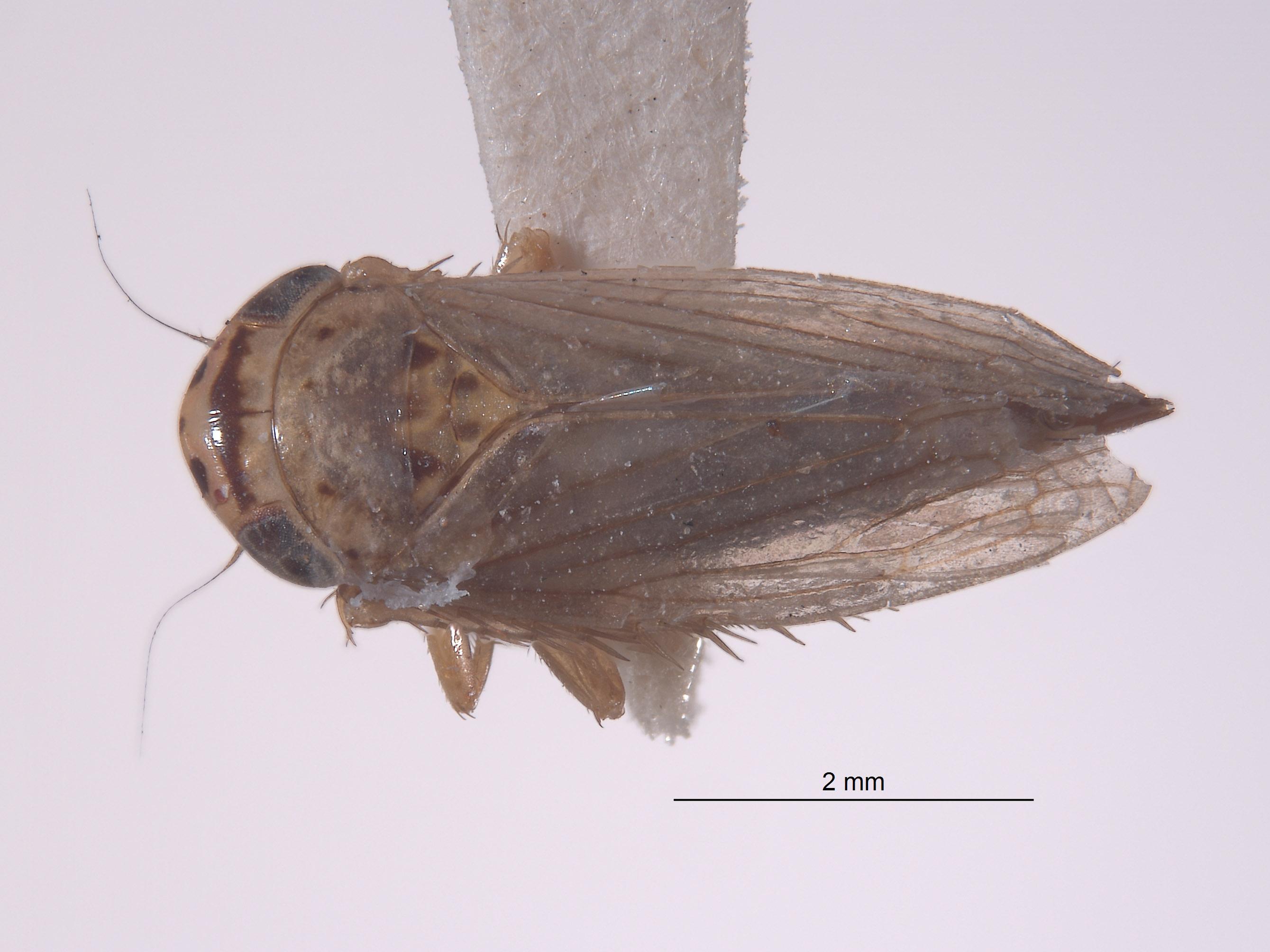 Exitianus brunneopictus image