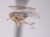 Exitianus spinosus image