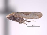 Taperinna maculata image