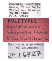 Copididonus brunneus image