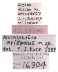 Macrosteles arizonus image