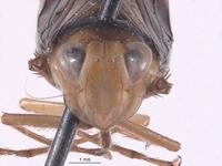Perulidia lobata image