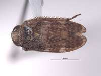 Image of Stalolidia curta