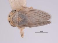 Image of Aceratagallia aratra