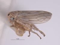 Aceratagallia aratra image