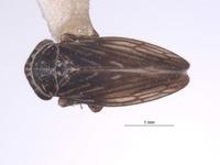 Aceratagallia brevis image