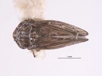 Image of Aceratagallia minuta