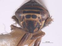 Colladonus convexus image