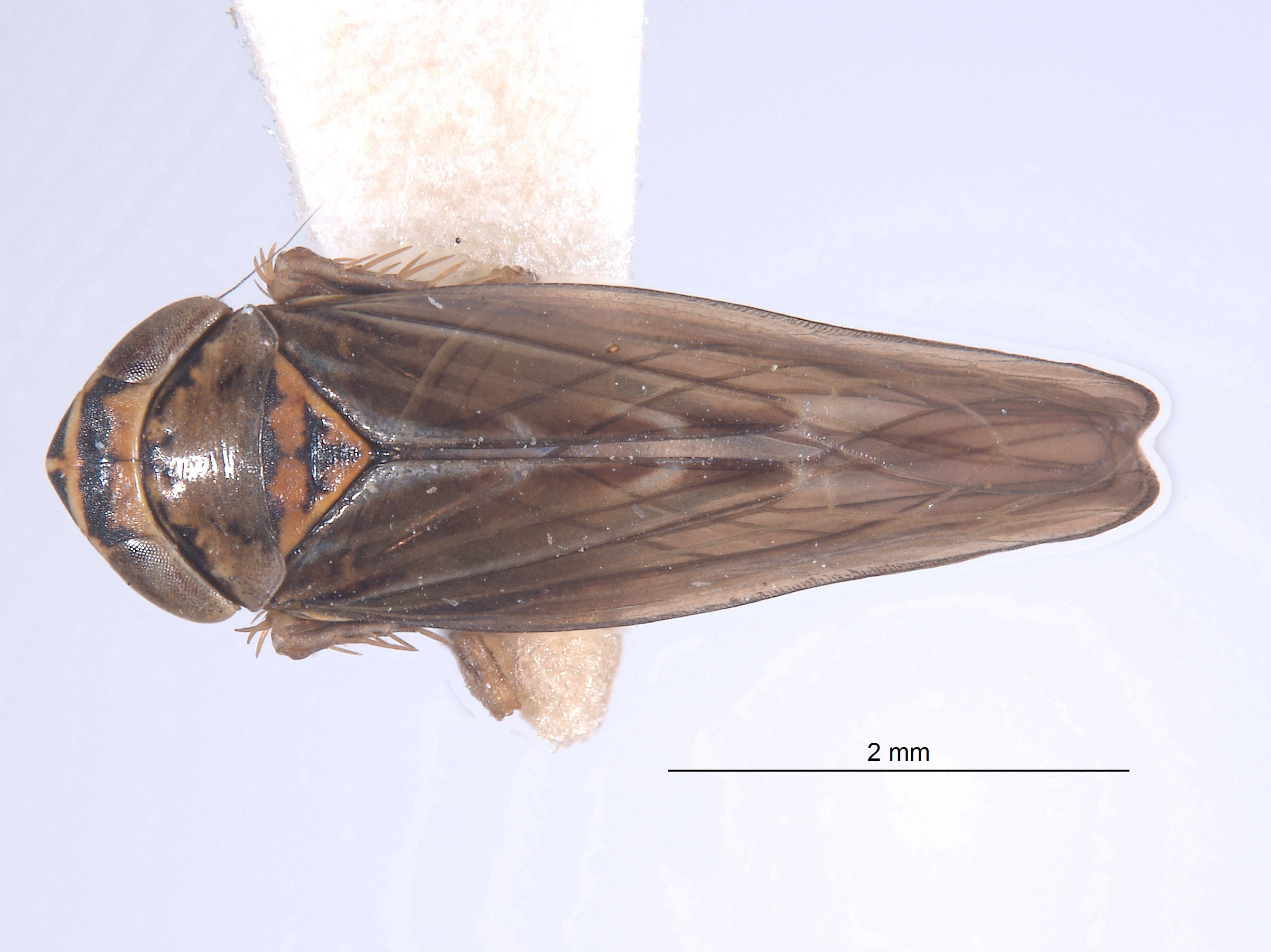 Colladonus costaricensis image