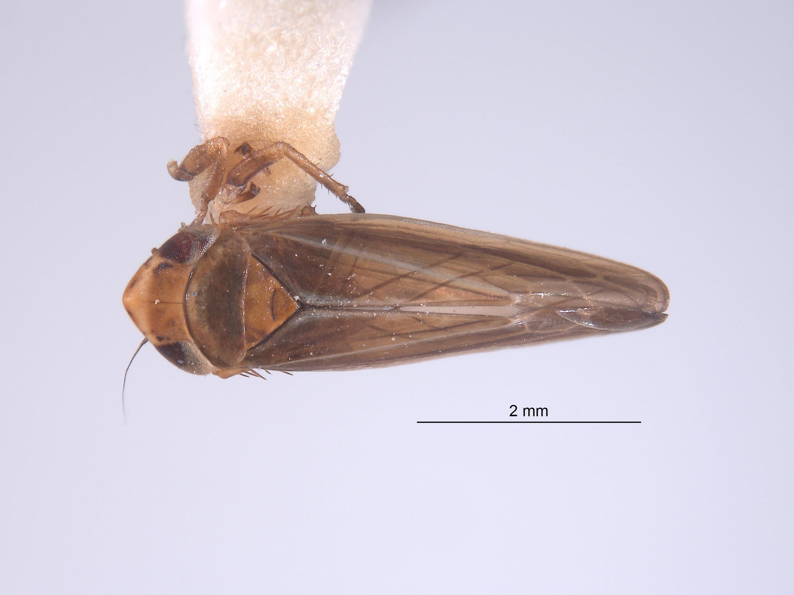 Colladonus image