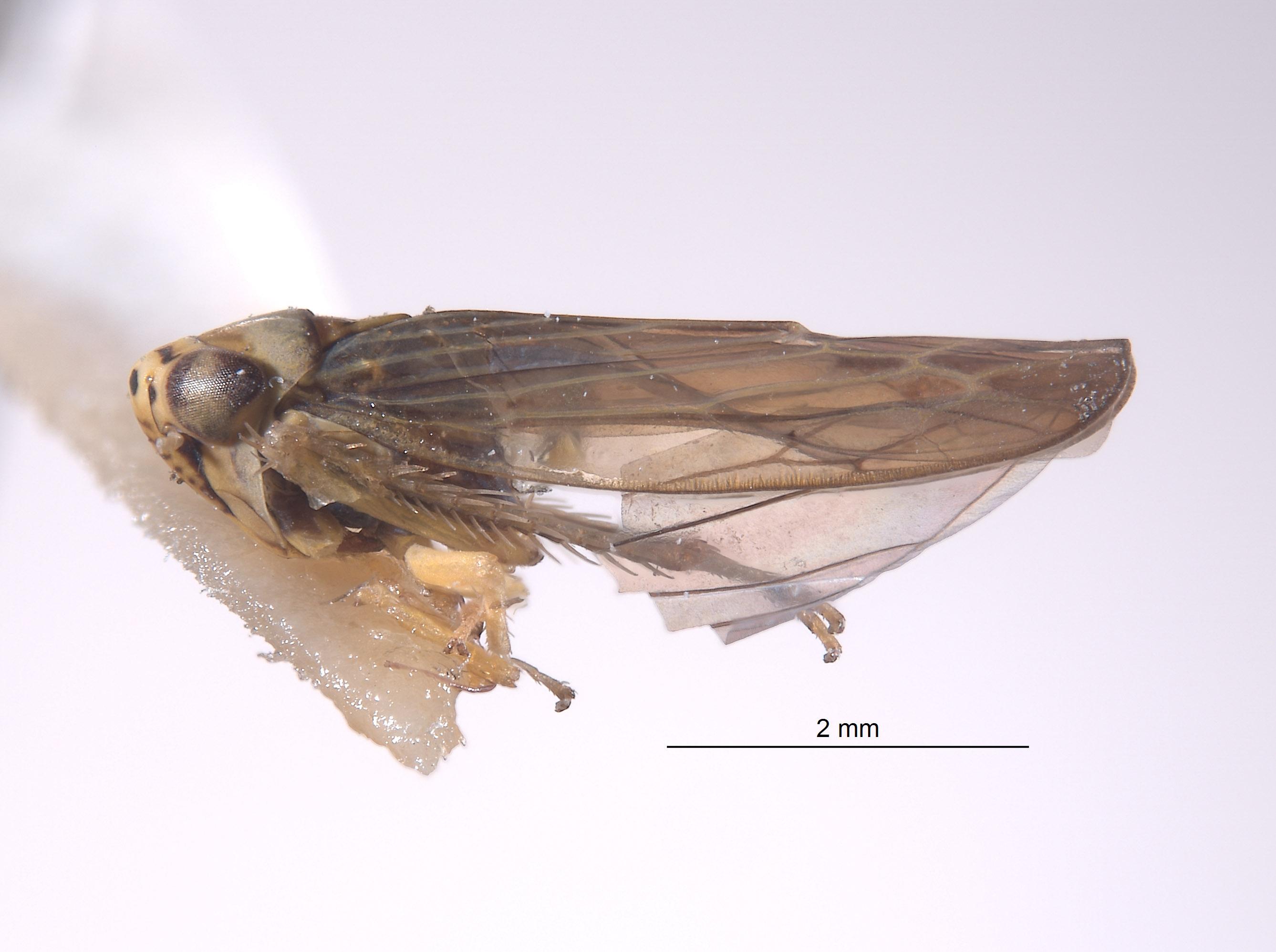 Colladonus singularius image