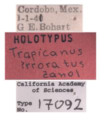 Tropicanus irroratus image
