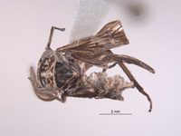 Image of Mexicanocerus whitacrei
