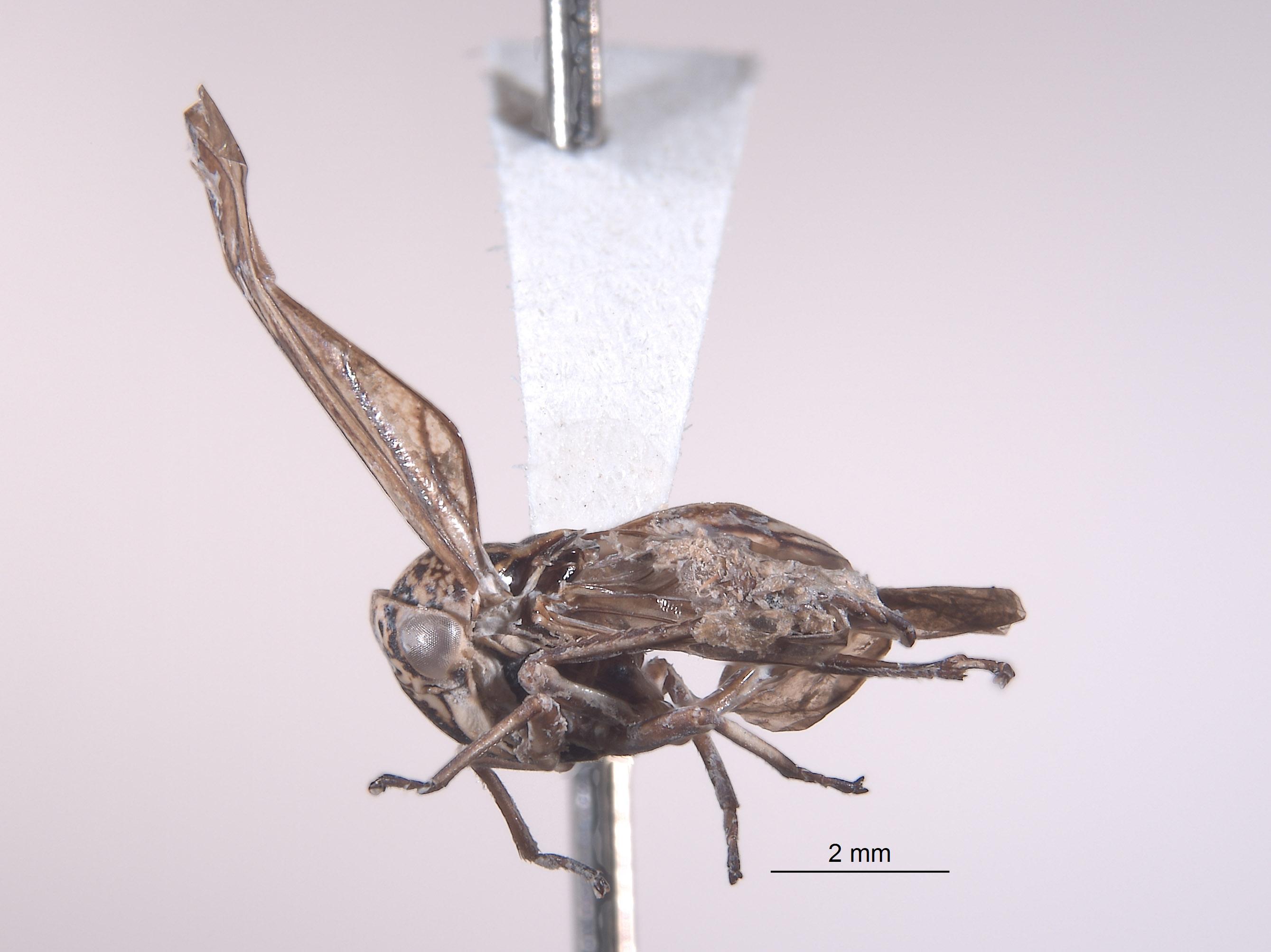 Mexicanocerus whitacrei image