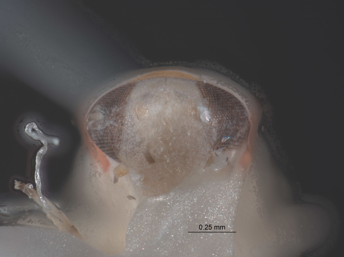 Omegalebra hondurasensis image
