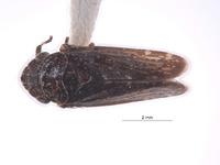 Image of Carsonus oregonus