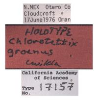 Chlorotettix groenus image
