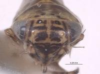 Image of Macrosteles bandii