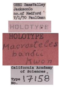 Macrosteles bandii image