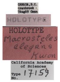 Macrosteles elegans image