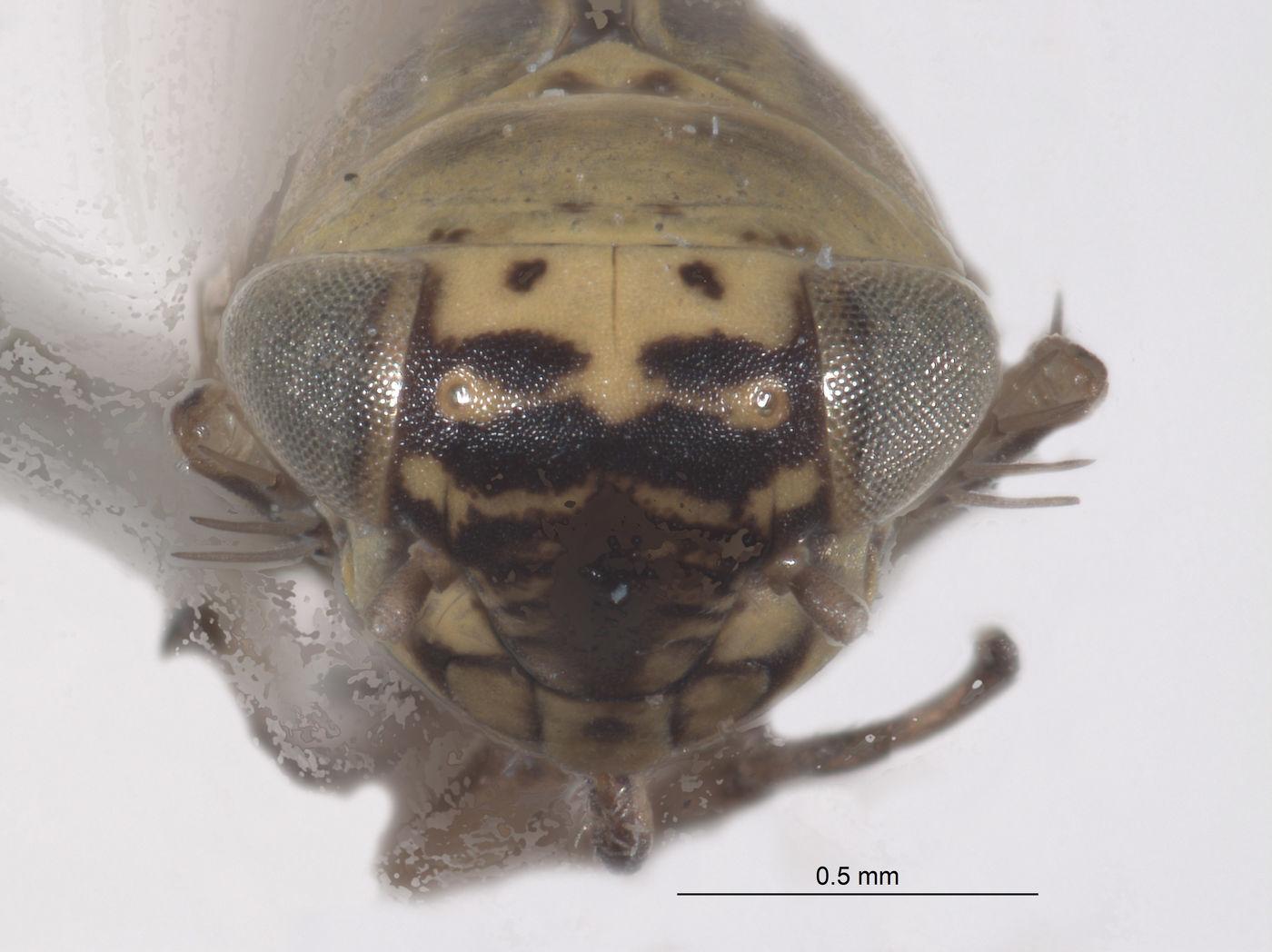 Macrosteles hastatus image