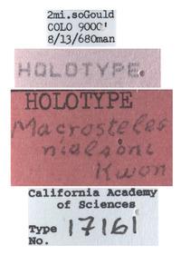 Macrosteles nielsoni image