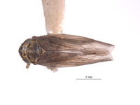 Image of Macrosteles oregonensis