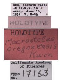 Macrosteles oregonensis image