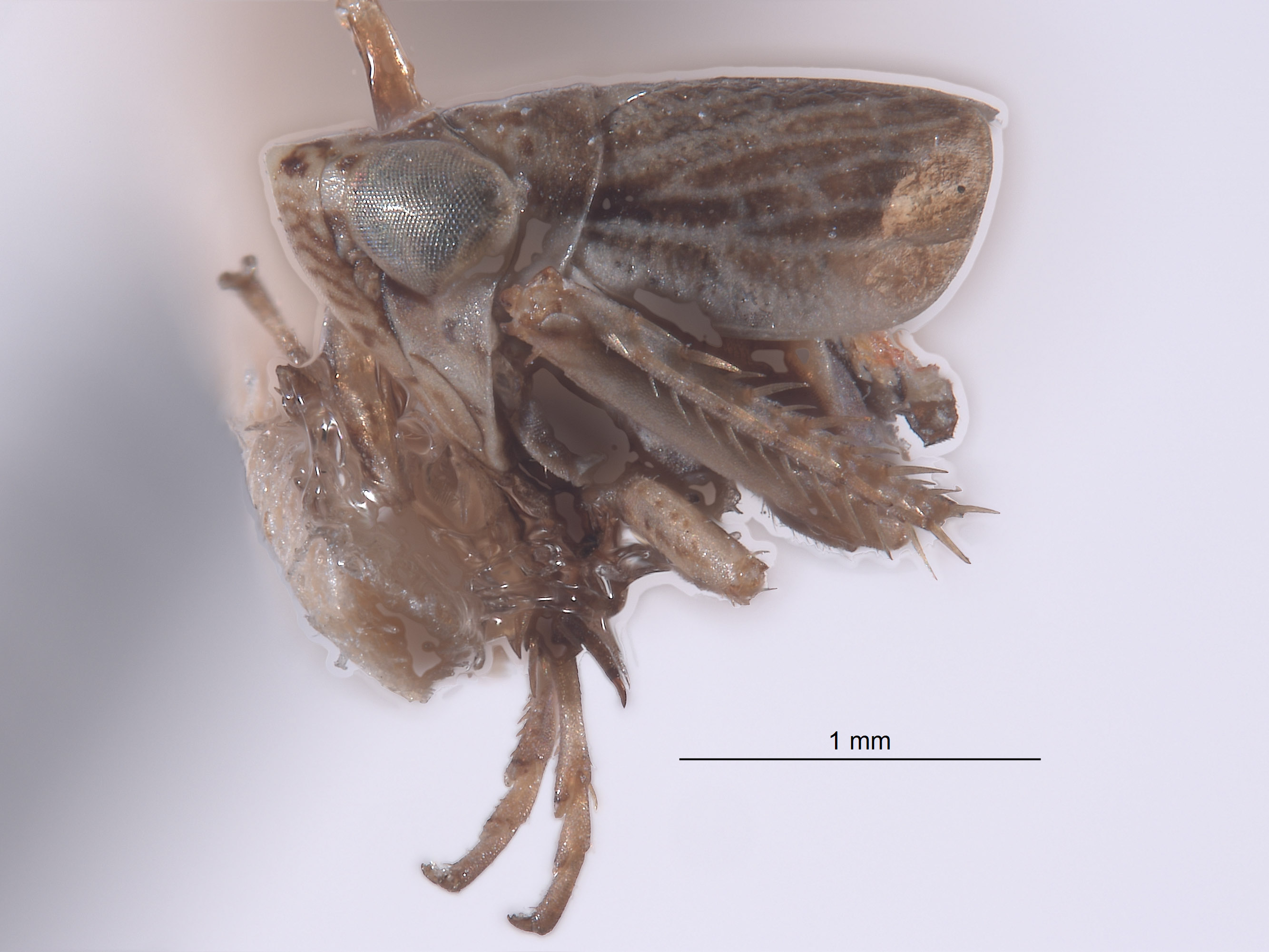 Athysanella vanesca image