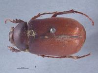 Lachnosterna spaethi image