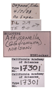 Athysanella nielsoni image