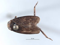 Image of Docalidia latebra