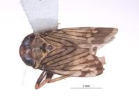 Image of Omanolidia setacea