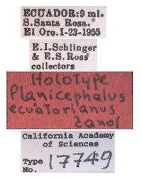 Planicephalus ecuatorianus image