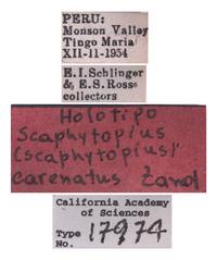Scaphytopius carenatus image