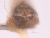 Scaphytopius ferruginosus image