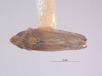 Image of Scaphytopius isabellinus